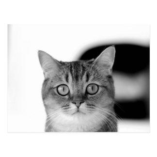 Gato preto e branco que olha reto em você cartão postal
