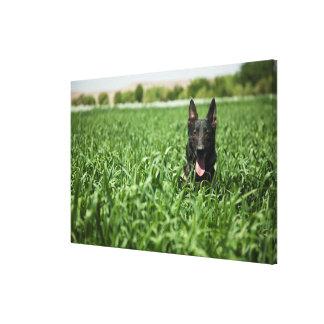 German shepherd nos campos
