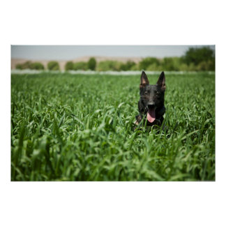 German shepherd nos campos pôster