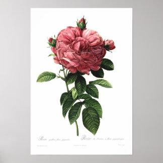 Giganteo do flore do gallica de Rosa Poster