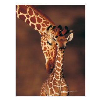 Girafa adulto com vitela (camelopardalis do cartão postal