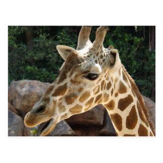 Girafa engraçado cartão postal