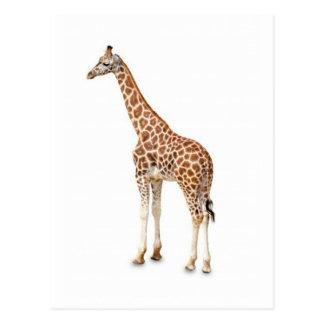 Girafa longo do pescoço cartões postais