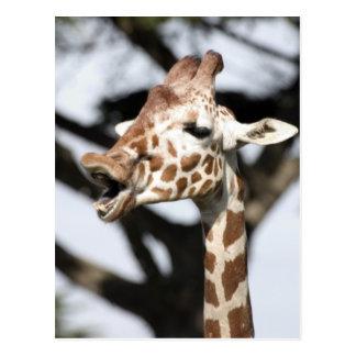 Girafa reticulated enfrentado engraçado, San Cartão Postal