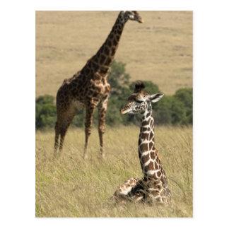 Girafas do Masai, camelopardalis do Giraffa Cartão Postal