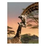 Girafas que cumprimentam-se cartoes postais