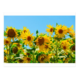 Girassóis amarelos em um campo cartão postal