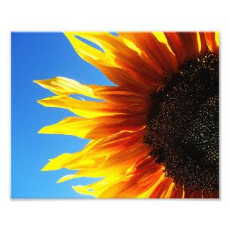 Girassol Aflame 10x8 Impressão De Fotos