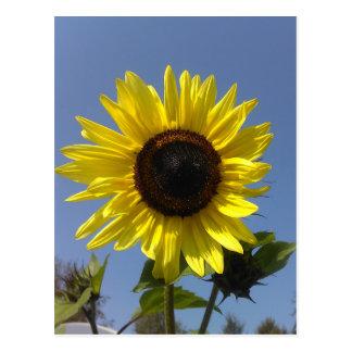 Girassol amarelo e o céu azul cartão postal