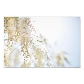Glicínias brancas impressão de foto