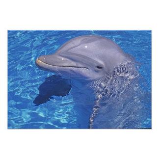Golfinho de Bottlenosed, Tursiops Truncatus Impressão De Foto