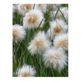 Grama de algodão (russeolum do Eriophorum) Cartão Postal