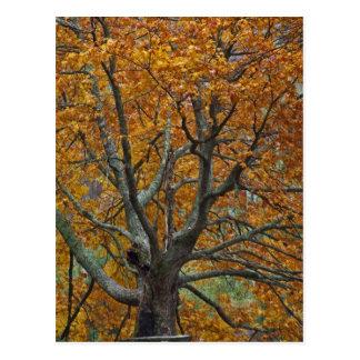 Grande árvore de bordo no outono, lago baixo, cartão postal