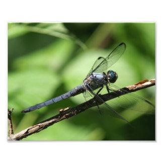 Grande cópia azul da foto da libélula do Skimmer Impressão De Foto