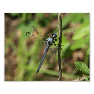 Grande libélula azul do Skimmer, cópia da foto