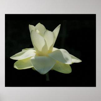 Grande poster da flor de Lotus branco
