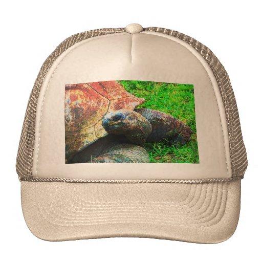 Grunge gigante da tartaruga de Aldabra, jardim zoo Bone