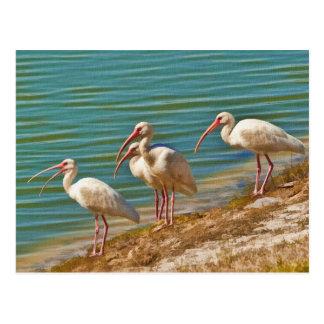 Grupo de cartão dos íbis