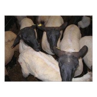 Grupo de posição Scared dos carneiros Impressão De Fotos