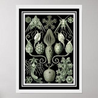 Haeckel 12 x 16 botânicos impressão