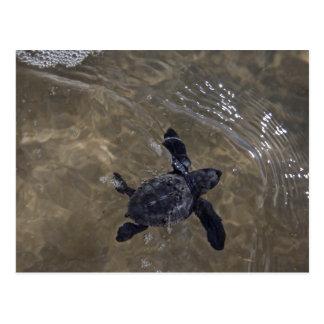 Hatchlings 2 da tartaruga cartão postal