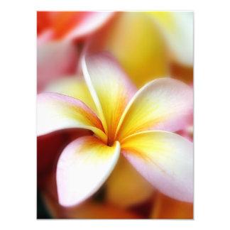Hawaiian branco da flor de Havaí do Frangipani do  Impressão De Foto