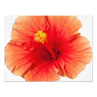Hawaiian tropical da flor do hibiscus do amarelo impressão de foto