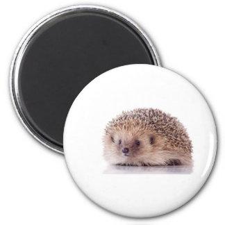 Hedgehog, Ima De Geladeira