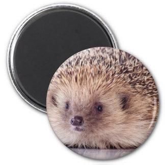 Hedgehog, Imas De Geladeira