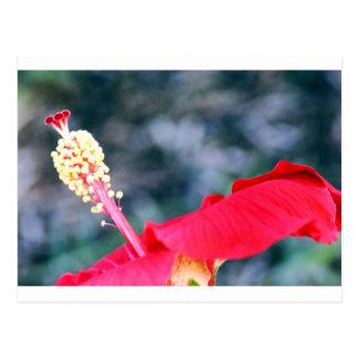 Hibiscus 4 cartão postal