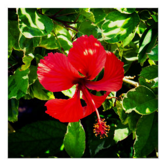 Hibiscus vermelho exótico pôster