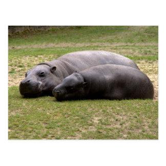 Hipopótamos do pigmeu cartão postal