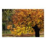Hojas doradas del castaño en otoño en la sierra impressão de foto