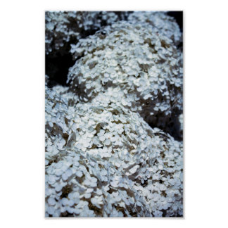Hydrangeas brancos no Polônia Pôster