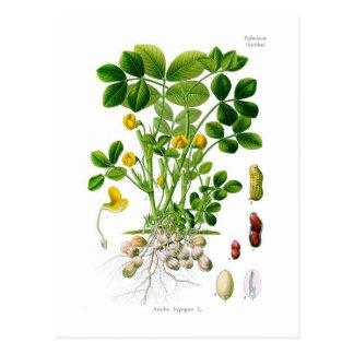 Hypogaea do amendoim (amendoim) cartão postal