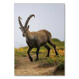 Íbex selvagem alpino, da cabra, ou steinbock