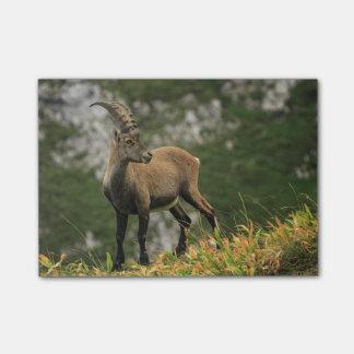 Íbex selvagem alpino, da cabra, ou steinbock bloquinhos de notas
