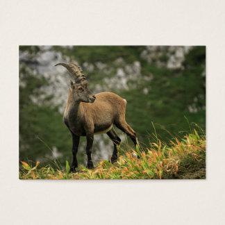 Íbex selvagem alpino, da cabra, ou steinbock cartão de visitas