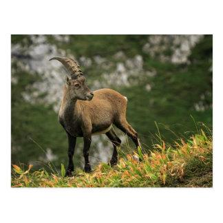 Íbex selvagem alpino, da cabra, ou steinbock cartão postal