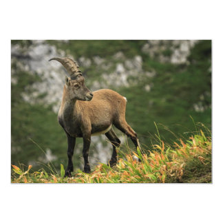 Íbex selvagem alpino, da cabra, ou steinbock convite 12.7 x 17.78cm