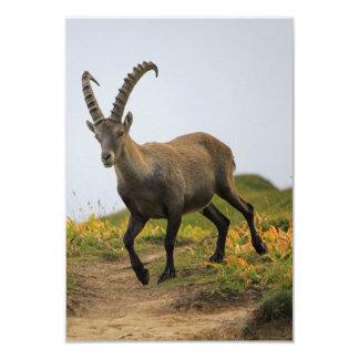 Íbex selvagem alpino, da cabra, ou steinbock convite 8.89 x 12.7cm