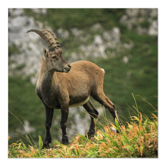 Íbex selvagem alpino, da cabra, ou steinbock convite quadrado 13.35 x 13.35cm