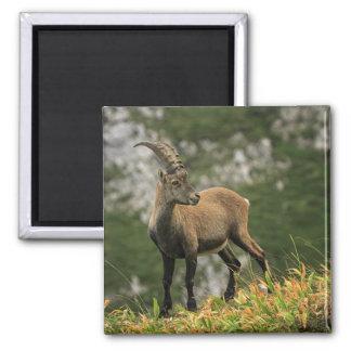 Íbex selvagem alpino, da cabra, ou steinbock ímã quadrado