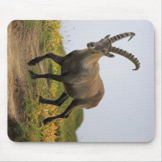 Íbex selvagem alpino, da cabra, ou steinbock mouse pad