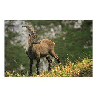 Íbex selvagem alpino, da cabra, ou steinbock papelaria