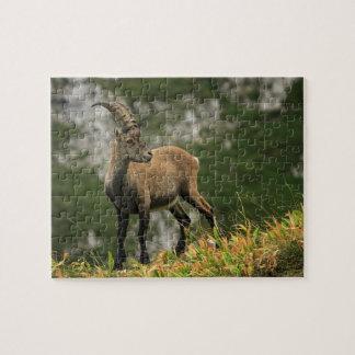 Íbex selvagem alpino, da cabra, ou steinbock quebra-cabeças