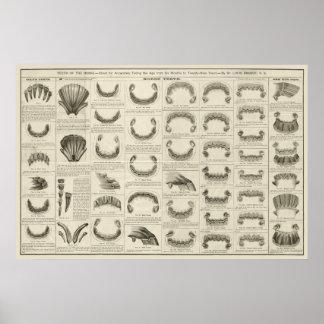Idade do cavalo pelo poster da anatomia da carta