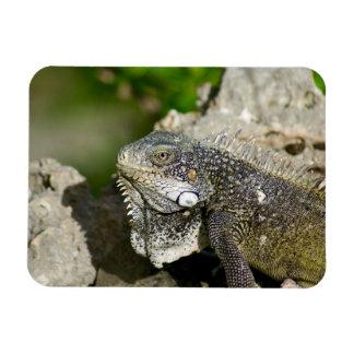 Iguana, Curaçau, ilhas das Caraíbas, foto Foto Com Ímã Retangular