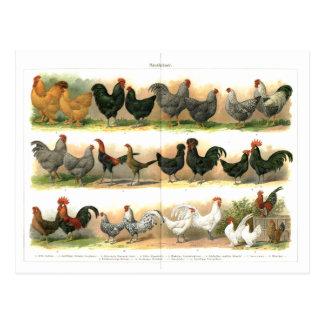 Ilustração da raça dos galos das galinhas cartoes postais