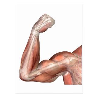 Ilustração de um braço dobrado que mostra o bíceps cartão postal